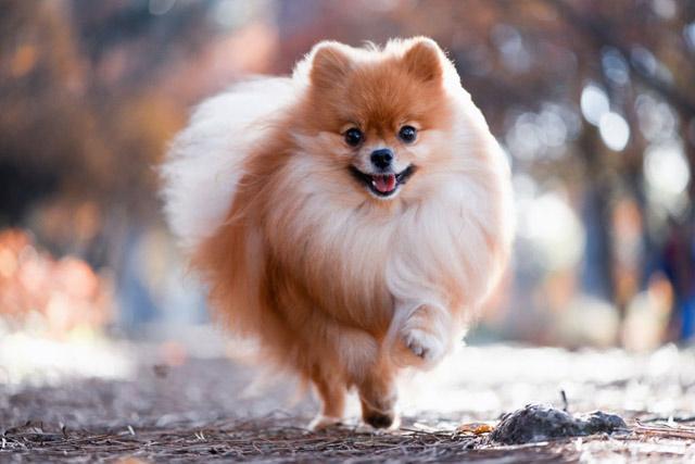 Chó lông xù Pomeranian