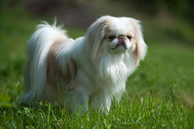 Chó Nhật lông xù