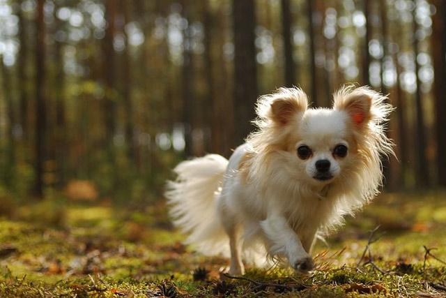 Chó Chihuahua lông xù