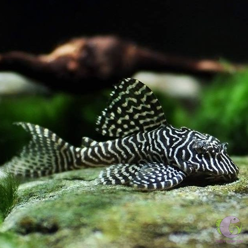 L260 Queen Arabesque Pleco