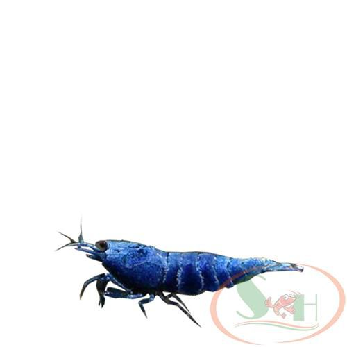 tép Blue Bolt Extreme Deep Blue caridina shrimp
