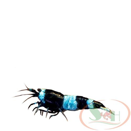 tép Blue Panda Shadow caridina shrimp
