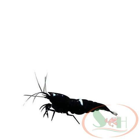 tép King Kong black Taiwan bee shrimp