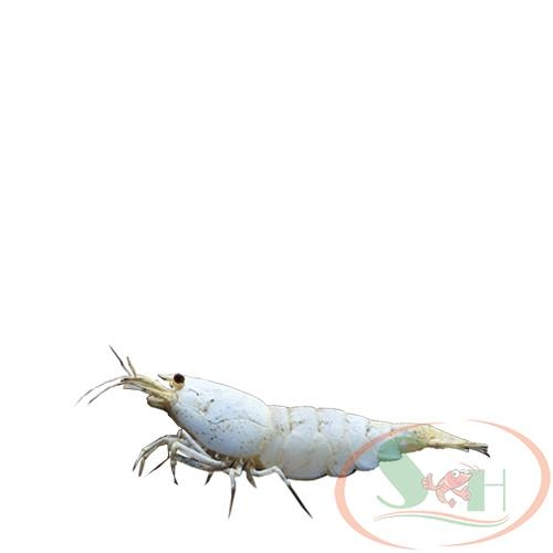 tép Ong Golden bee caridina shrimp