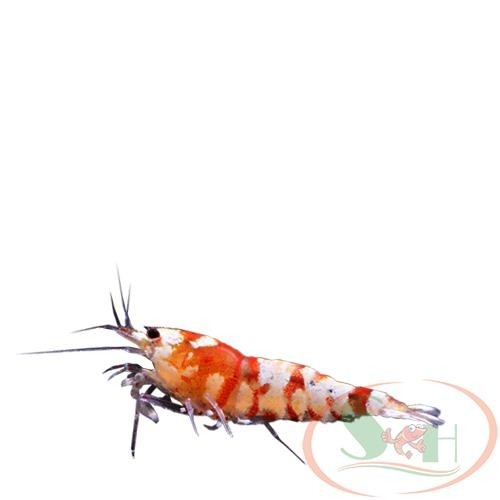 Tép Red Fancy Tiger đỏ caridina shrimp