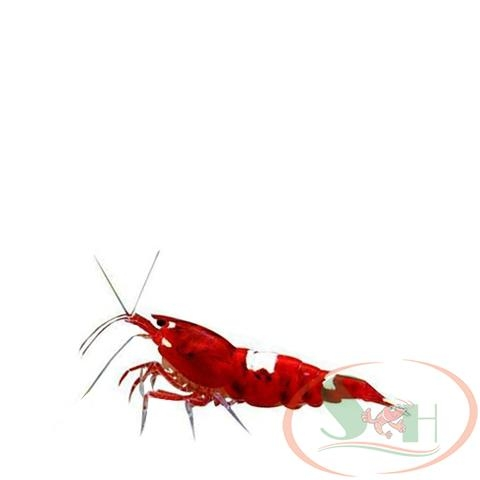 tép Wine Red mix King kong panda caridina shrimp