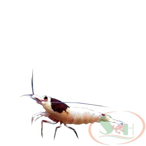 tép Wine Red Mosura caridina shrimp