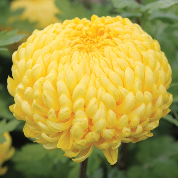 Cúc Chrysanthemum