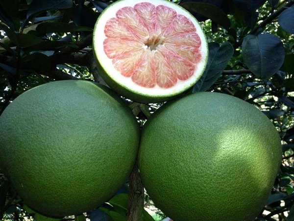 SWEET POMELO / GRAPEFRUIT