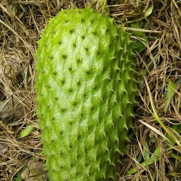 SOURSOP or GRAVIOLA