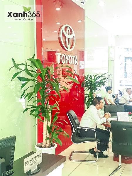 Ảnh thực tế: Toyota Hoàn Kiếm thuê cây tại Xanh 365