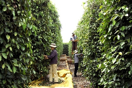 Vietnam Pepper Harvest Exceeding Expectations