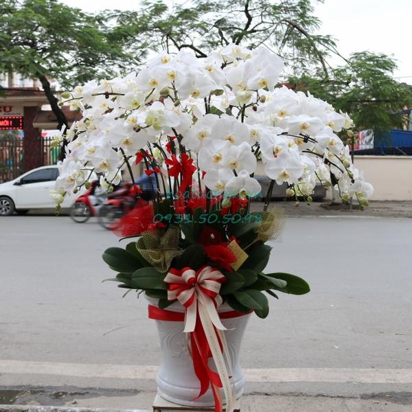 mẫu chậu hoa lan hồ điệp Hải Phòng cực đẹp