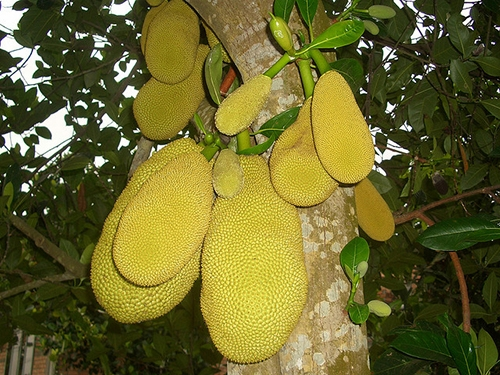 Jackfruit tree preperation