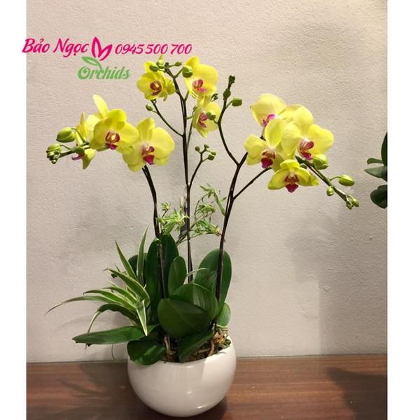 chậu hồ điệp vàng 3 cành, hoa lan hồ điệp vàng, lan hồ điệp vàng ghép chậu HDV-0301