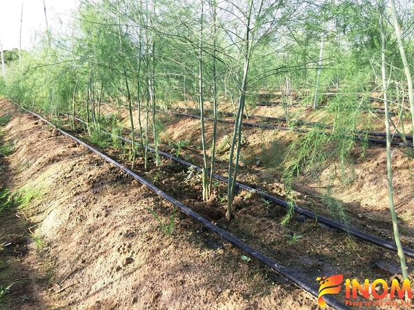 Drip irrigation system for Asparagus in Ninh Thuan province