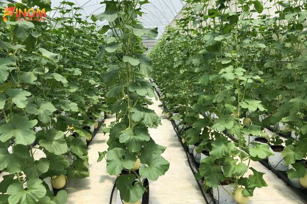 Greenhouse Project for Rock Melon in Tay Ninh