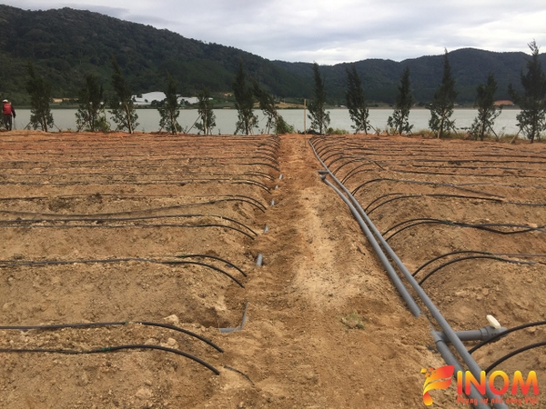 Drip irrigation system for aubergine in Da Lat