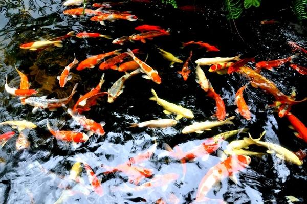 Dịch vụ chăm sóc hồ Koi là giải pháp để có đàn cá Koi luôn khỏe mạnh