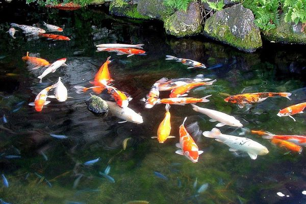 Bảo trì, bảo dưỡng, chăm sóc hồ Koi giúp cá Koi luôn khỏe mạnh