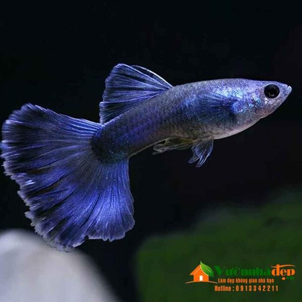 blue-moscow-guppy