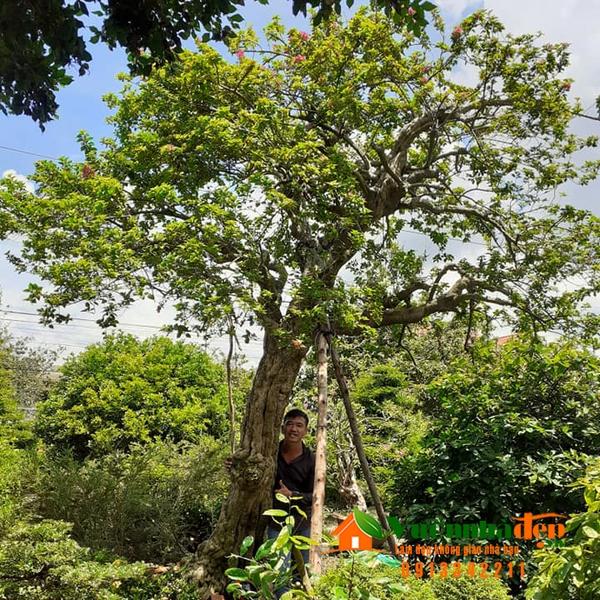 Cây bông giấy bonsai