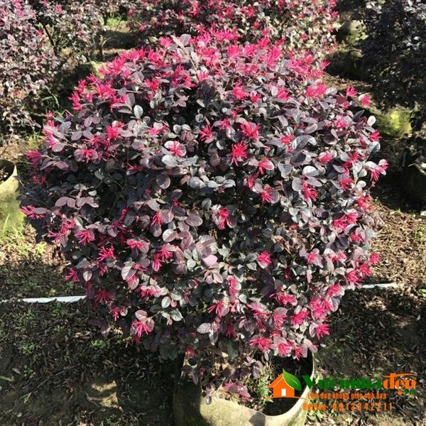 Giá cây Hồng Phụng