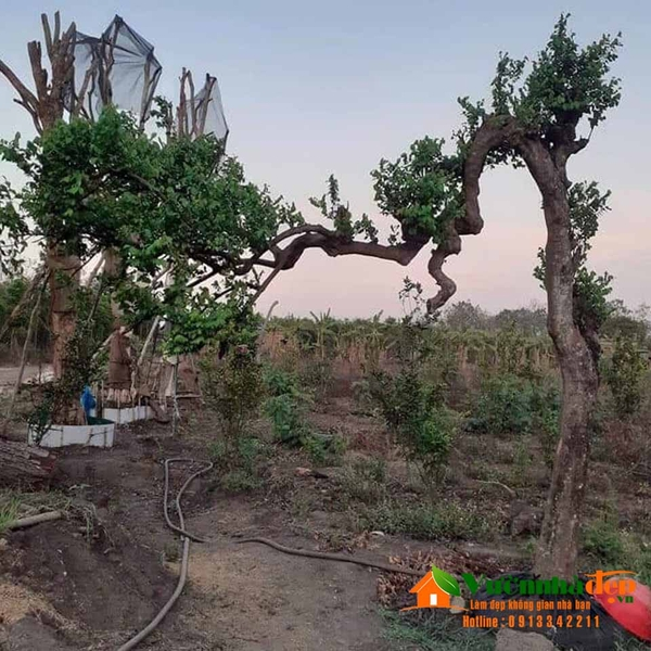 Cay-khe-bonsai-dep