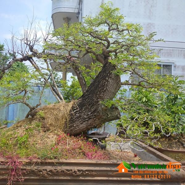 Cây me bonsai dáng trực