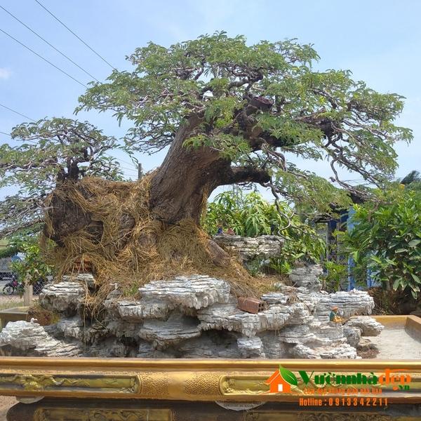 Cây me bonsai hai thân