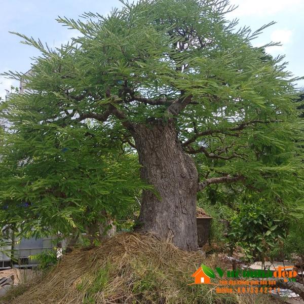 Cây me bonsai khủng