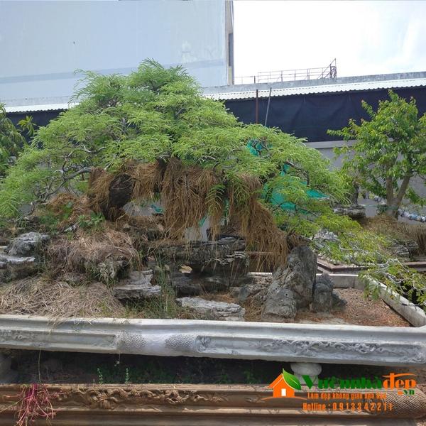 Cây me bonsai dáng bay