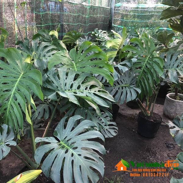 Hình ảnh cây Monstara