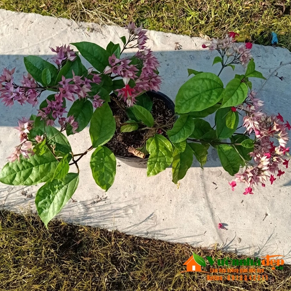 Cây ngọc nữ hoa đỏ