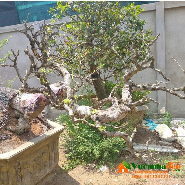 đào tiên bonsai đẹp