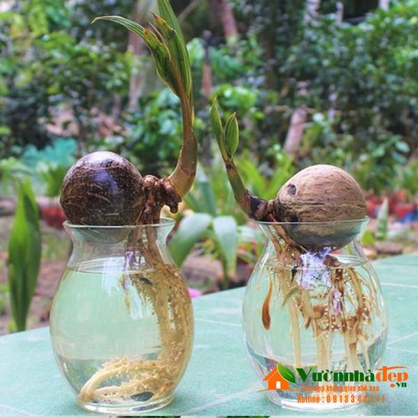 Dừa bonsai trong bình thủy tinh