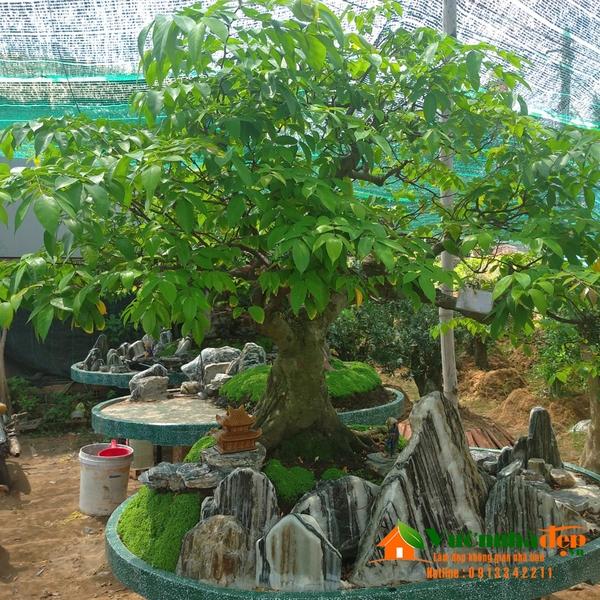 Hình cây khế bonsai