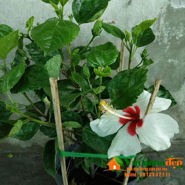 Hoa dâm bụt màu trắng