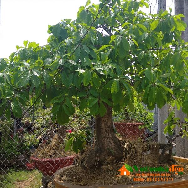lộc vừng bonsai dáng trực