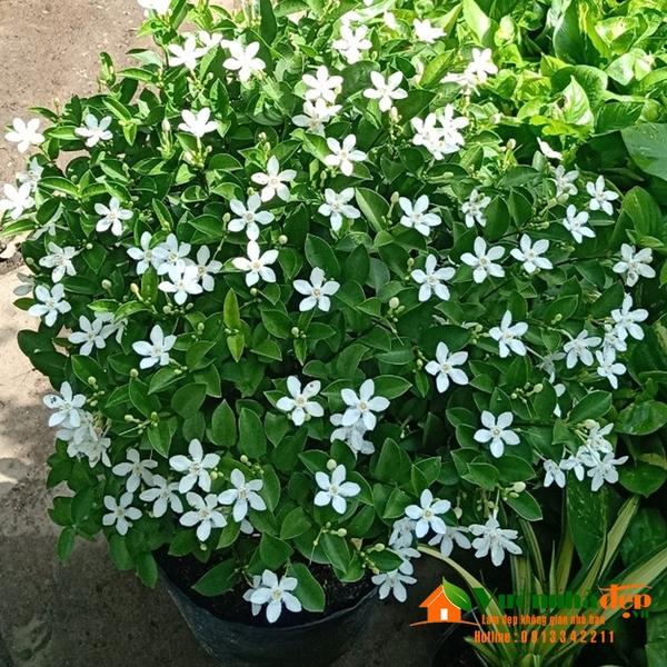 Hình ảnh mai chỉ thiên hoa trắng