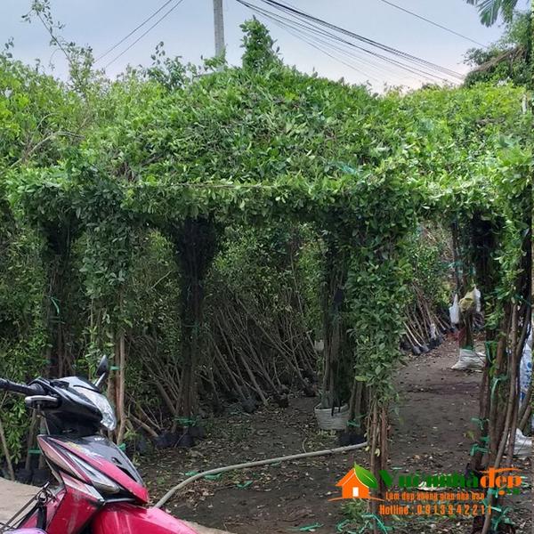 Nhà bằng cây si