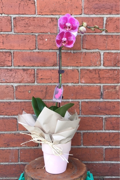 large-orchid-1-stem-with-pot