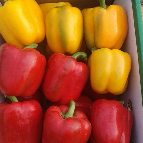 fresh bell pepper / fresh capsicum