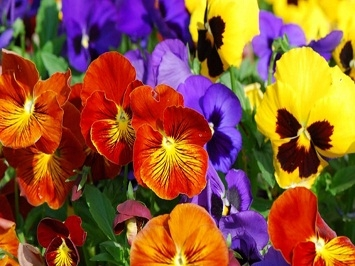 Hoa pansy mix