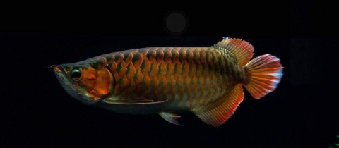 HUYẾT LONG POWER RED AROWANA A1.1