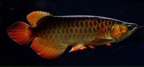 HUYẾT LONG POWER RED AROWANA