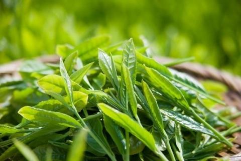 Tính năng phòng ngừa stress oxy hóa ở chè xanh tân cương thái nguyên