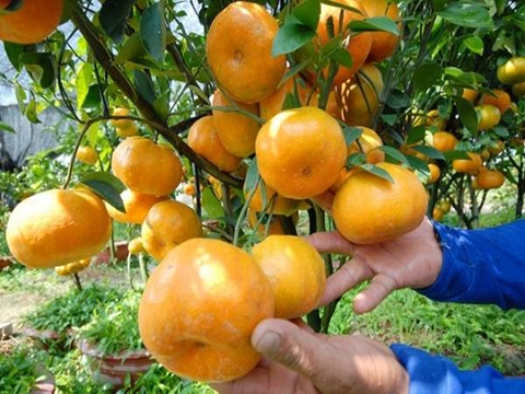 Orange tree preperation
