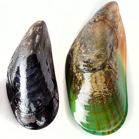 Mussel on half shel medium size