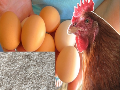A Guide to Giving Your Layer Hens Enough Calcium